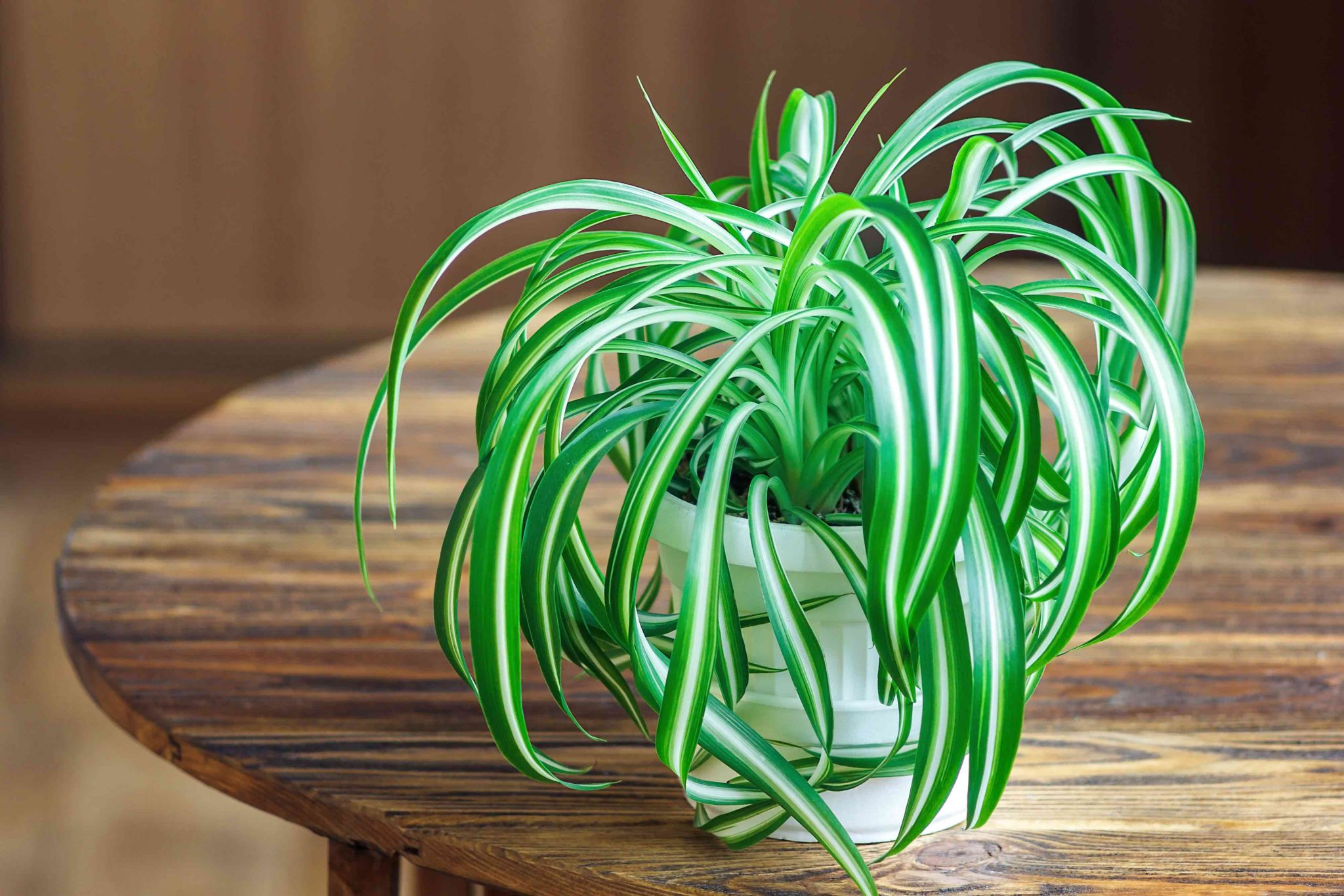 Spider Plant All About Details Cleaning Fresh Home Air Kelowna Cleaning Company